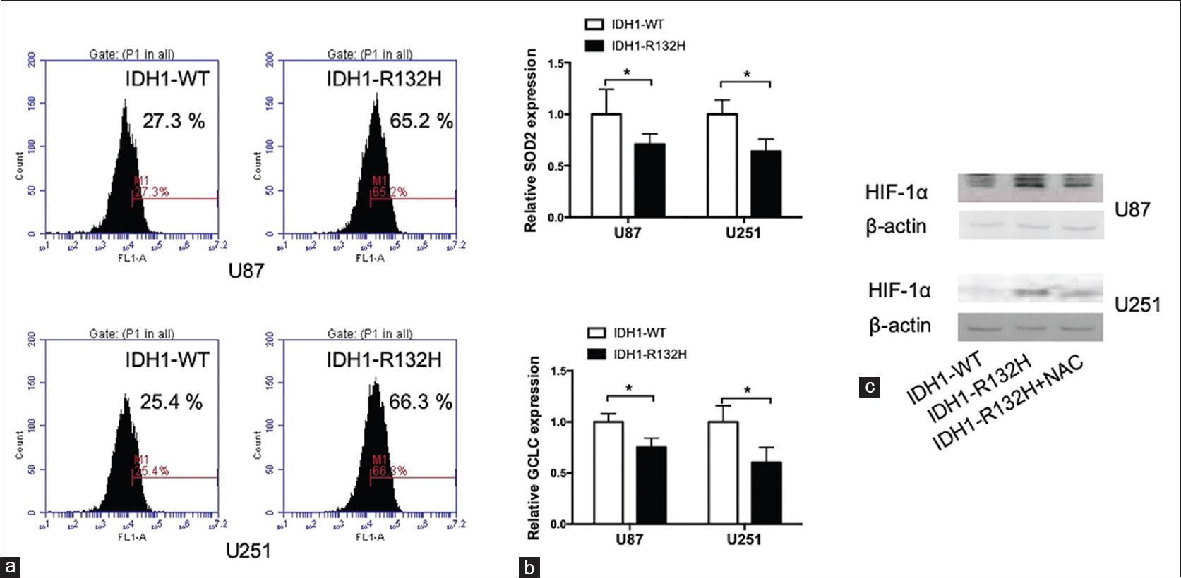 Figure 4: Generation of ROS is involved in IDH1-R132H-induced increase of HIF-1α expression in glioblastoma cells.(a) ROS determination in U87 and U251 cells transfected with IDH1-WT or IDH1-R132H. (b) Relative mRNA expression in U87 and U251 cells transfected with IDH1-WT or IDH1-R132H. (c) Protein expression of HIF-1α in U87 and U251 cells transfected with IDH1-WT or IDH1-R132H and treated with NAC. * <i>P</i> < 0.05