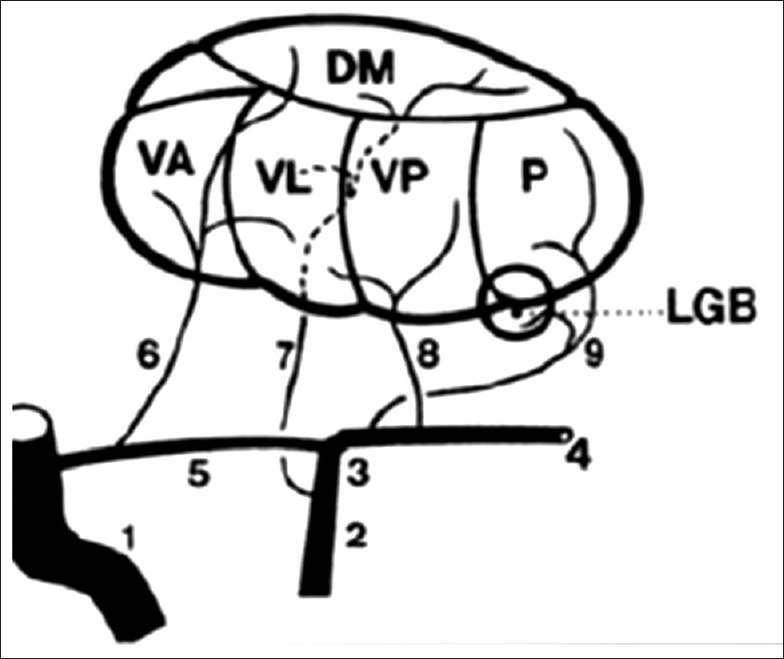 Thalamus And Language What Do We Know From Vascular And